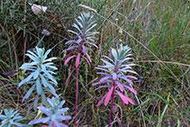 Lleteresa vera (<i>Euphorbia characias</i>).