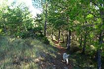 El tram de corriol per bosc abans del llom.