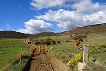 Seguim per un camí que es dirigeix al nord-oest. Atenció amb les vaques; cal no molestar-les.