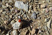 Esgarrapa clapejada saltadora (<i>Eresus cinnaberinus</i>).