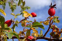 Gavarrons, els fruits del roser silvestre.