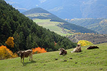 Vaques assolellant-se al prat per on baixarem a continuació.