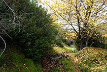 Després d´envoltar el prat en baixada passem entre uns boixos i nogueres i entrem al bosc.