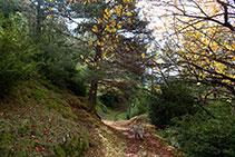 Entrem al bosc de pi roig amb boix i nogueres plantades i assilvestrades.