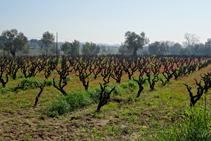 Cultius de vinya a Calonge.