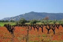 Calonge i el cultiu de la vinya.
