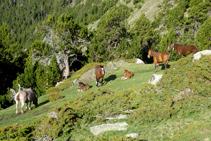 Grup de cavalls descansant en una petita clariana entre ginebrons i pins negres.