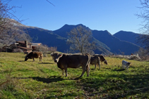 Ramats de vaques pasturant al Baell.