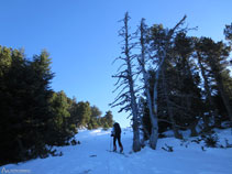 El bosc s´aclareix, estem arribant al refugi Oller