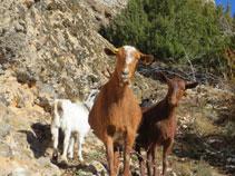 Cabres als voltants de Ca la Rita