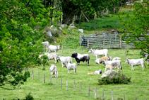 Ramat de vaques a les pastures de Can Barris.