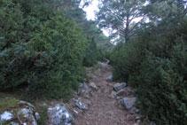 El boix i el pi roig, dues espècies que resisteixen bé les baixes temperatures de la zona.