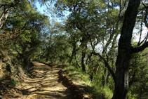 Bosc de suros al turó de la Palomera.