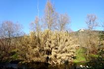 Canyissars al riu Brugent.