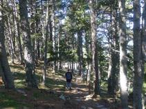 Bosc de pi negre.