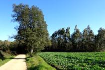 Entre conreus i eucaliptus.