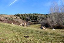 Vaques pasturant.