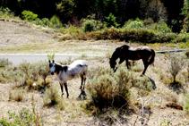 Cavalls pasturant a l´entrada de Berga.