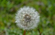 Plomalls de pixallits, planta típica dels prats.