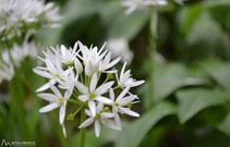 L´all d´os o all ursí (<i>Allium ursinum</i>), típic de les fagedes amb joliu del Puigsacalm.