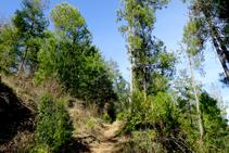 Boscos de pinassa a l´Alzina.