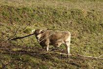 Vaques pasturant als prats propers a Vallfogona.