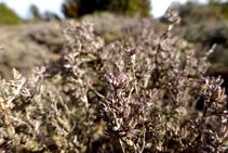 La farigola resisteix les àrides condicions de la serra Seca i perfuma l´aire que respirem.