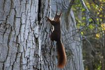 Si ens hi fixem bé i caminem en silenci, potser podrem sorprendre algun esquirol!