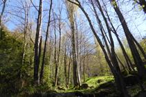 Bosc de ribera al riu de Llumeneres.
