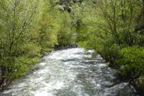 Bosc de ribera al riu Valira.