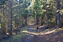 L´espès bosc de pi negre del Forcat.