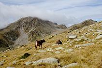 Vaques pasturant als prats alpins propers de la carena fronterera amb Andorra.