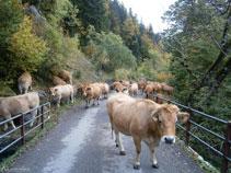 Un ramat de vaques pujant per la pista asfaltada cap al Plan dera Artiga.