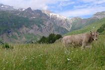 Una vaca pasturant a la vall d´Otal.