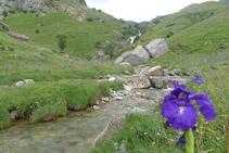 Lliri dels Pirineus (<i>Iris xiphioides</i>) en primer terme i cascada d´Otal al fons.