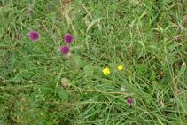 Una de les moltes flors que podem observar a la vall d´Otal.