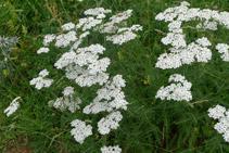 Milfulles (<i>Achillea Millefolium</i>). Segons la mitologia grega, l´heroi Aquiles utilitzava aquesta planta per guarir-se les ferides i pel mal d´estómac.