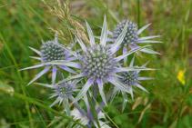 Panical blau (<i>Eryngium Bourgatii</i>).