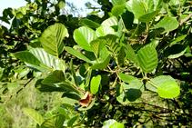 El vern, arbre típic del bosc de ribera.