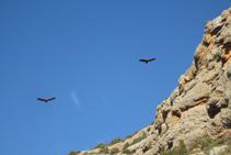 Voltors volant ben a prop de les parets dels cingles de Pessonada.