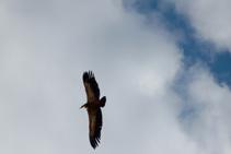 Detall de voltor comú volant (<i>Gyps fulvus</i>).