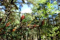 La pineda del bosc d´Arnui.