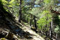 Pineda de pi roig amb bedolls al bosc d´Arnui.