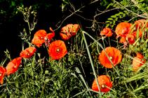 Esclat primaveral de roselles (<i>Papaver rhoeas</i>) a la riba nord de l´Onyar.