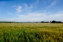 Camps de blat de Can Bosquets.